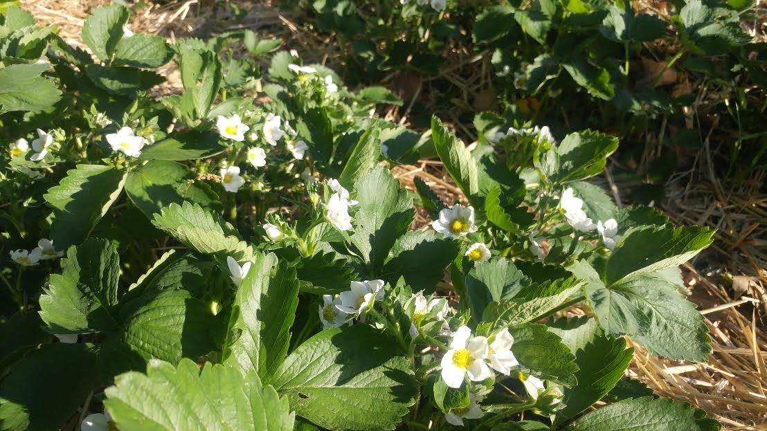 Strawberries on their way!